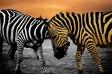 zebra-1050446_640